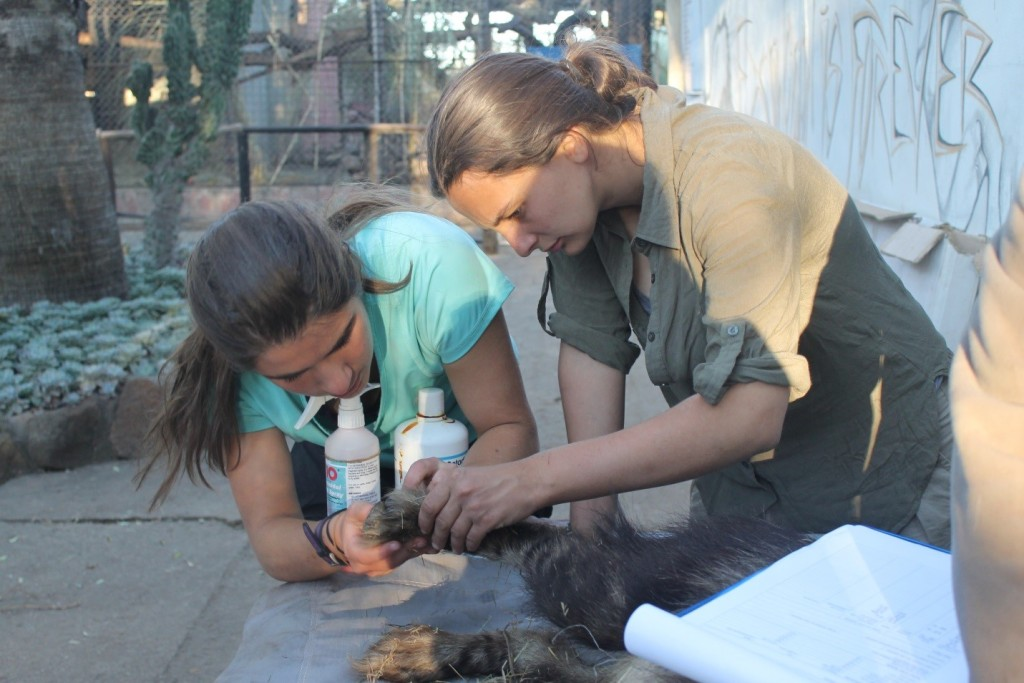 Helping with a sedated Hyena.