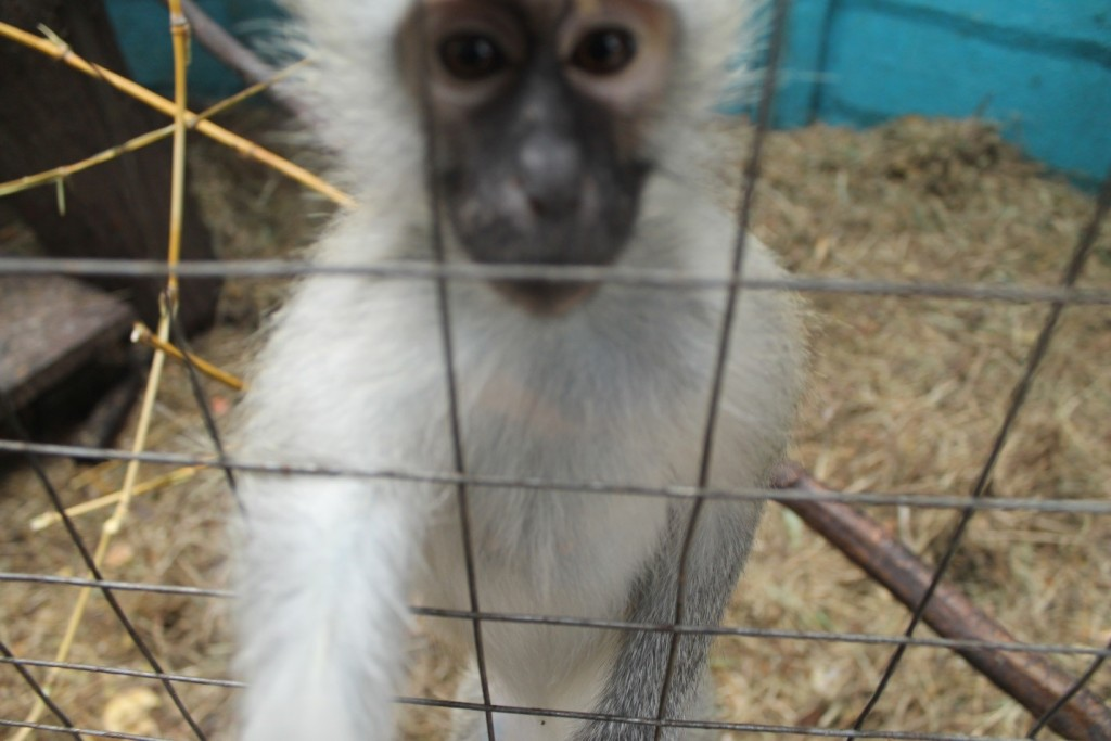 One of the young Vervet Monkeys reaching for Erin's camera.