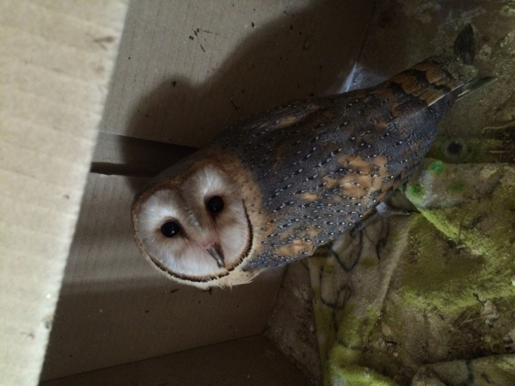 One of the 3 bary Barn Owls we hand fee 3 times a day. Ther are getting so big and now just starting to fly!